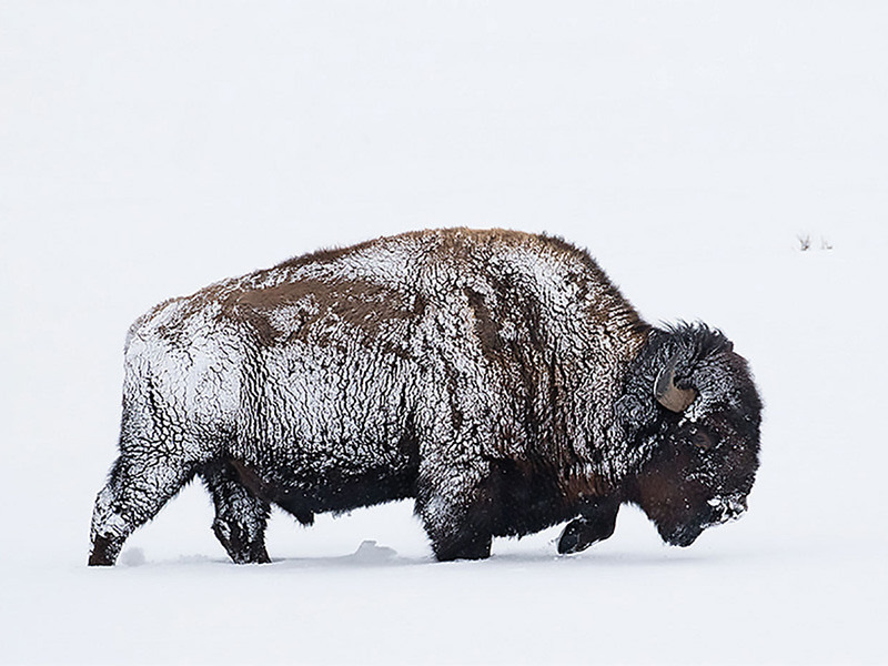 A photo of a snow covered buffalo